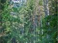 """13.Hajnówkę i Białowieżę oplata sieć atrakcyjnych szlaków Nordic Walking tworzących Nordic Walking Park """"Kraina Puszczy  i Żubra"""""""